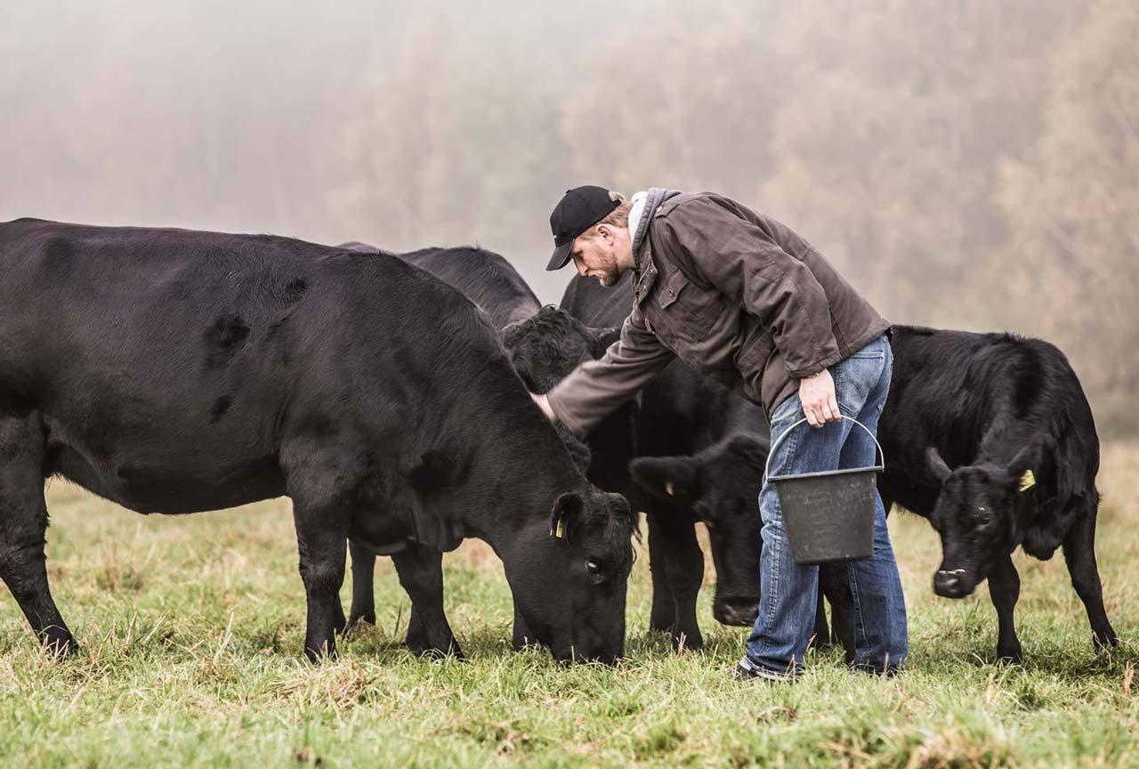 ZN Case: Bultmanns Hoff, Kühe auf der Wiese